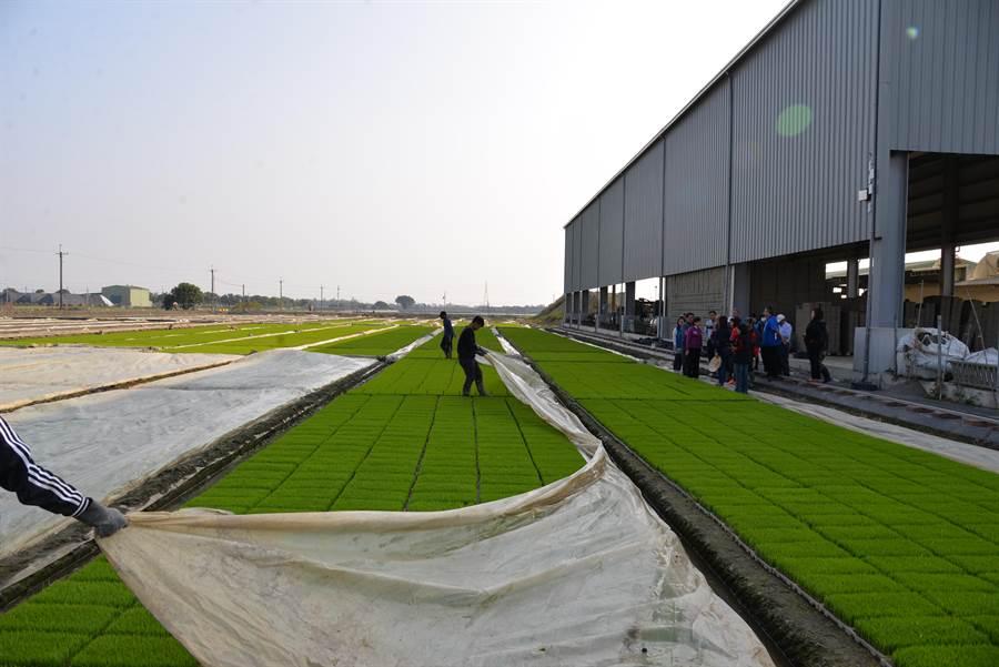 寒流來襲,水稻秧苗業者傍晚氣溫更降時,就為秧苗蓋上塑膠帆布禦寒。(許素惠攝)