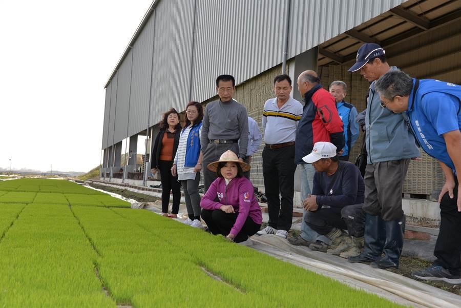 雲林縣長張麗善(蹲者左)提醒水稻秧苗業者陳裕禎(蹲者右)要做好抗寒措施。(許素惠攝)