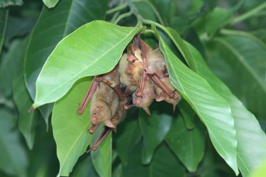 武漢肺炎延燒,黃金蝙蝠館籲不要敵視蝙蝠。(黃金蝙蝠館提供/張朝欣雲林傳真)