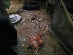 流浪狗闖雞舍屍橫遍野  飼主心痛:自己都還來不及吃