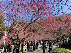 九族櫻花開了 櫻花祭限定雙月票最便宜