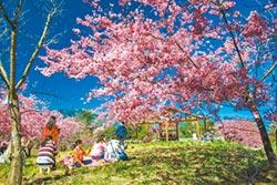 賞櫻祕境 福壽山千櫻園2月9日開園