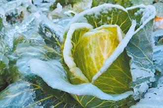 好凍 讓梨山高麗菜更香甜