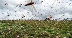 蝗蟲肆虐!25年來最慘 索馬利亞宣布進入「國家緊急狀態」
