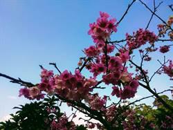 樂活夜櫻季內湖登場!寒櫻搶頭香!八重櫻、昭和櫻接力比美