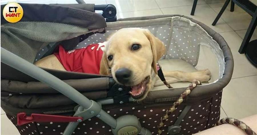 小導盲犬約8周大來到寄養家庭,學習社會化和居家習慣,「養父母」盡心培育,分別時刻卻早已注定。(圖/讀者提供)