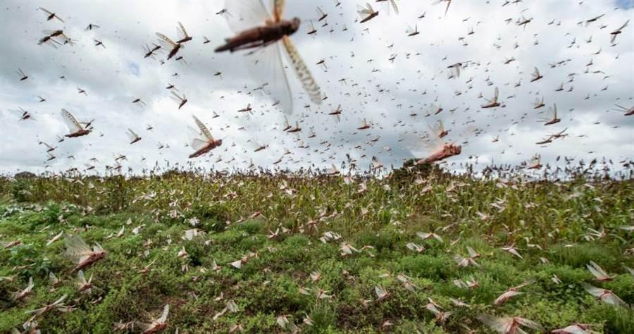 索馬利亞蝗蟲肆虐,對國家糧食造成威脅。(圖/達志/美聯社)