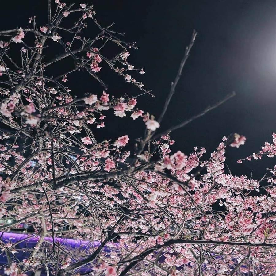 內湖樂活公園內的夜櫻美景。(圖取自內湖樂活夜櫻季 Facebook)