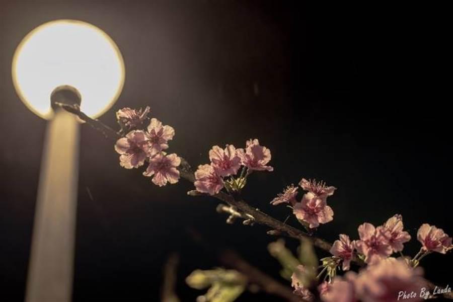 內湖樂活公園內夜櫻美景。(圖取自內湖樂活夜櫻季 Facebook)