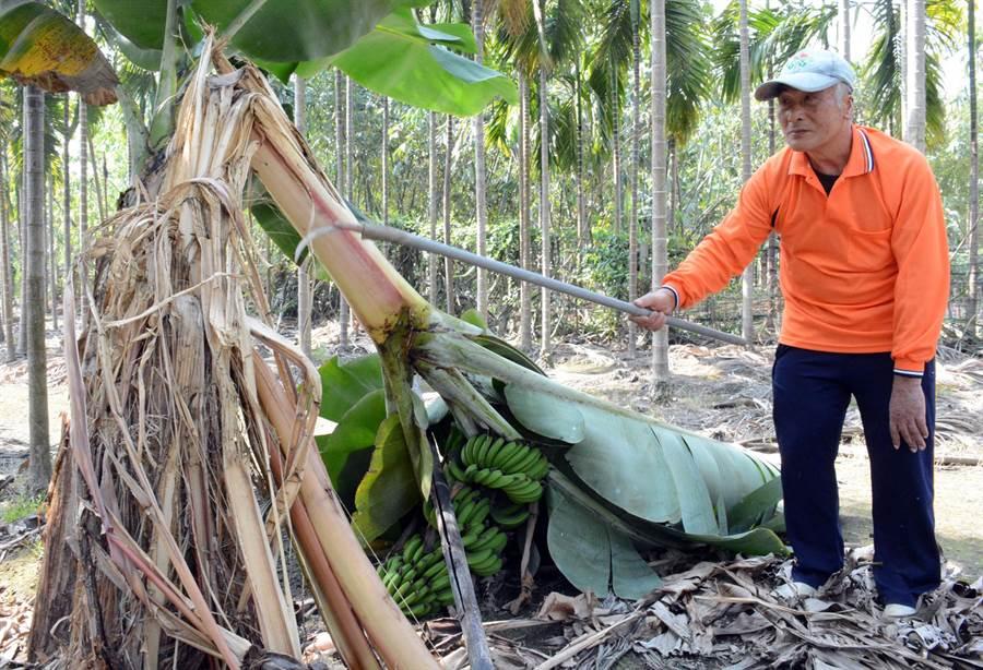蕉園遭破壞,不知是什麼動物所為?農民李居上一臉疑惑。(林和生攝)