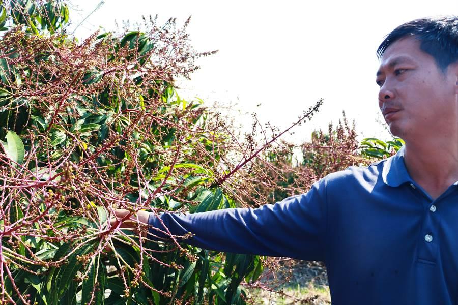 今年芒果大產的盛花期約落在1月10日至15日,不料卻接連遇到南風、雨水、寒流等襲擊,「酥花」狀況非常嚴重。(謝佳潾攝)