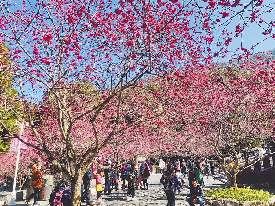 九族文化村的櫻花開始綻放,正是春遊賞櫻好時機。(廖志晃攝)