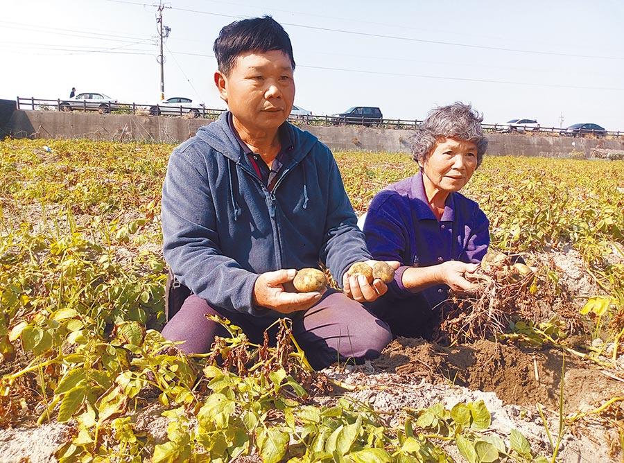 雲林縣的馬鈴薯去年12月底受霪雨侵害,受損嚴重已超過20%,農委會啟動天然災害現金救助機制,登記至2月8日截止。(許素惠攝)