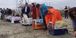 嘉縣15隻落難黑面琵鷺 7隻成功重返自然