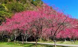 奧萬大各種櫻花盛開 防疫上山走春 可享春遊優惠方案