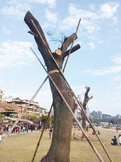 珍貴苦楝樹移植 樹枝遭砍斷