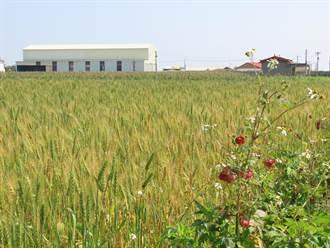學甲小麥綠轉黃金黃稻浪月底看得到 農民估產量佳