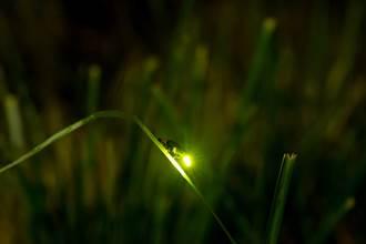 驚!螢火蟲恐絕種 台這產業被點名