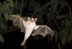 為何雲南蝙蝠病毒武漢爆發?網神解