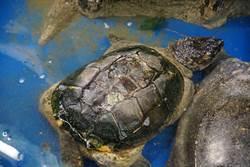 男路邊救殼碎巴西龜 一檢查陷兩難