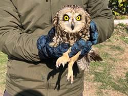重返大自然  保育猛禽短耳鴞金門野放