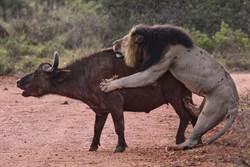 獅撲百隻水牛獵食 下秒嚇到跳樹上