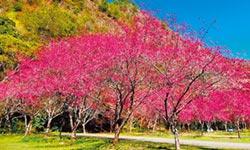 上山走春 奧萬大櫻花盛開 春遊享優惠