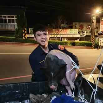 豬隻馬路閒晃逛大街 三峽員警即時攔截送回主人身邊