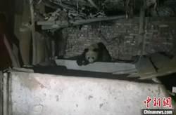 四川寶興:野生貓熊連續兩晚下山夜宿村民家