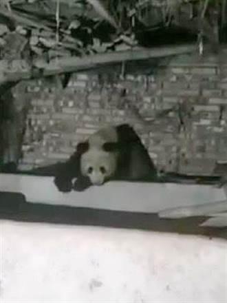 野生大熊貓 連2晚睡四川村民家豬圈