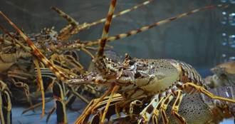 武漢肺炎/大陸經銷商取消龍蝦訂單 紐西蘭龍蝦重獲自由