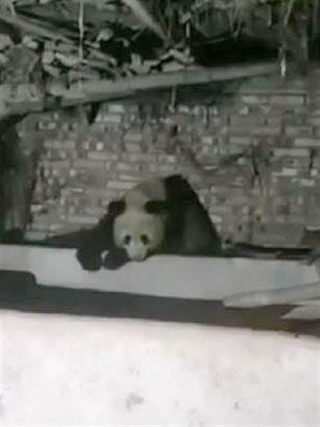 野生大熊貓連續2晚睡在四川雅安市寶興縣村民李光林家的豬圈中。(取自中新網)