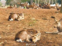 陸客銳減 奈良鹿斷糧挨餓