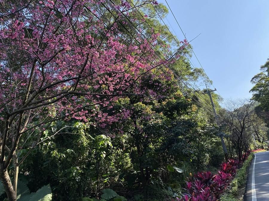 粉紅櫻花莊點著綠蔭,形成美麗的景觀。(圖取自新北市景觀處官網)