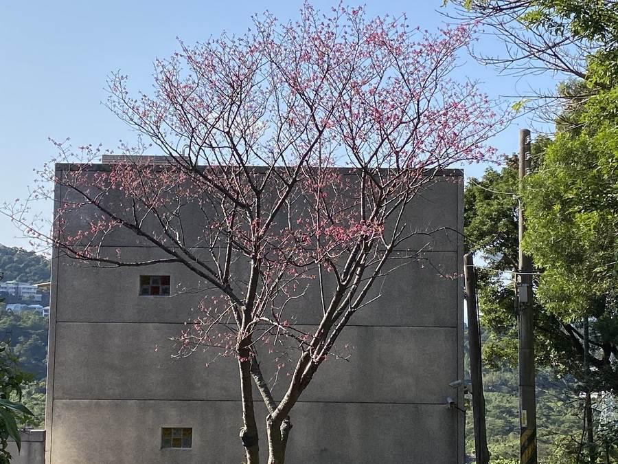櫻花大道到轉角處一株櫻花悄然綻放。(圖取自新北市景觀處官網)