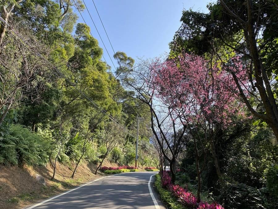 因氣候影響,尚有部分櫻花未完全綻放。(圖取自新北市景觀處官網)