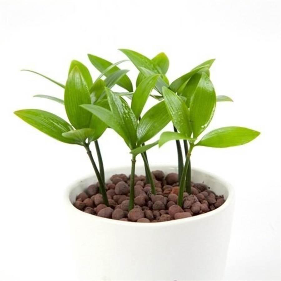 樂天市場推薦火象星座的招桃花小物,幸運樹竹柏精緻小盆栽,特價300元。(樂天市場提供)