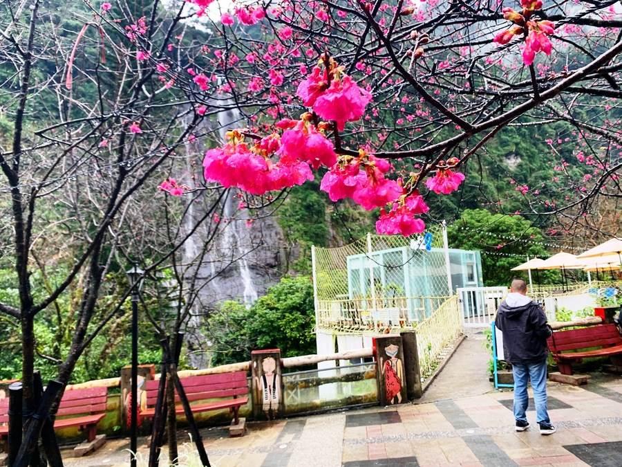 勇士廣場粉色櫻花繽紛綻放,伴隨瀑布彷如一幅山水畫。(圖取自新北市景觀處官網)