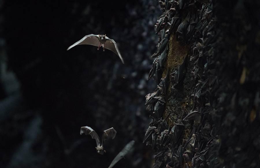 為何蝙蝠是病毒熱愛的傳染源頭?別小看蝙蝠這種生物,體內的強大基因,更是8800年來百毒不侵的證明。(圖/Shutterstock)