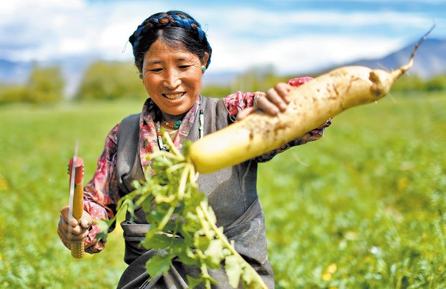 西藏日喀則市桑珠孜區邊雄鄉打造「蘿蔔小鎮」,帶動貧困群眾走上脫貧致富路。(新華社資料照片)
