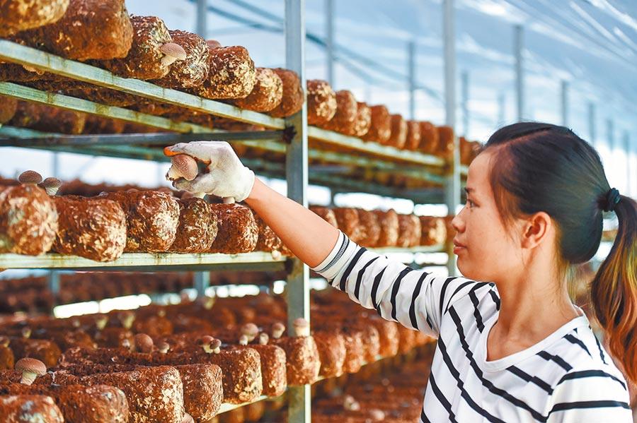 2018年8月9日,貴州省黔西南州安龍縣食用菌產業中心園區,民眾在採摘香菇。(新華社)