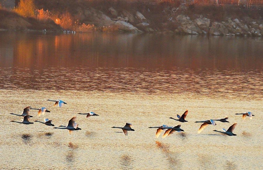 大天鵝在山東平度市淄陽湖的水面上飛翔。(新華社資料照片)