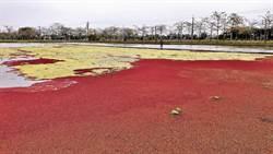 白河林初埤木棉花道旁 出現「滿江紅」奇景