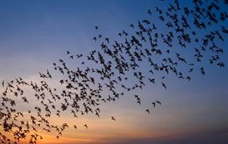 天空冒30萬蝙蝠盤旋 在地人超崩潰