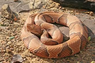 雌蛇嘴裡伸出蛇尾 反芻畫面好驚悚