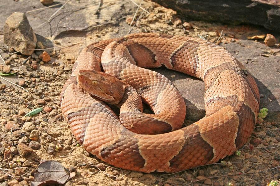 雌蛇嘴裡伸出蛇尾 反芻畫面好驚悚(示意圖/達志影像)