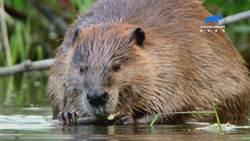 動物怎過情人節?公海狸吸引異性全靠「牙」?