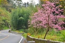 春寒料峭 阿里山椿寒櫻、昭和櫻含苞待放