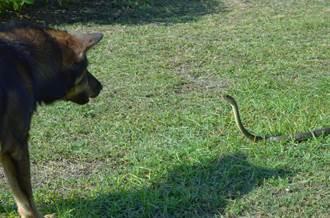 主人草地見蛇嚇歪 英勇愛犬神救援