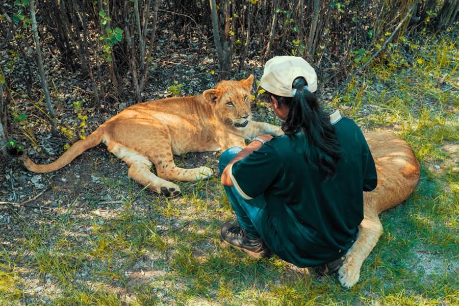 21歲女飼育員餵養猛獅 下場惹鼻酸(示意圖/ 取自達志影像)